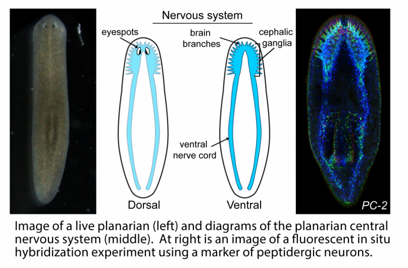 planarian and its central nervous system